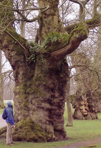 photo of a Veteran oak