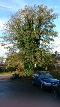 Tolpuddle Martyrs Tree before
