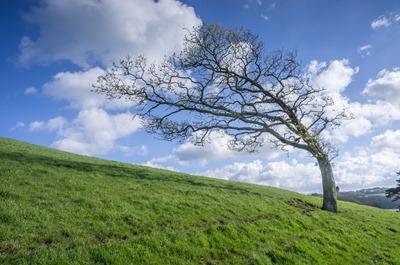 Cornish Compass - wind sculpted tree